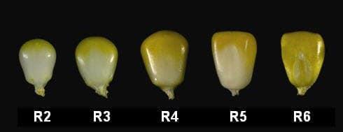 corn maturity