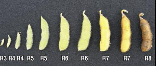 Soybean pod stages