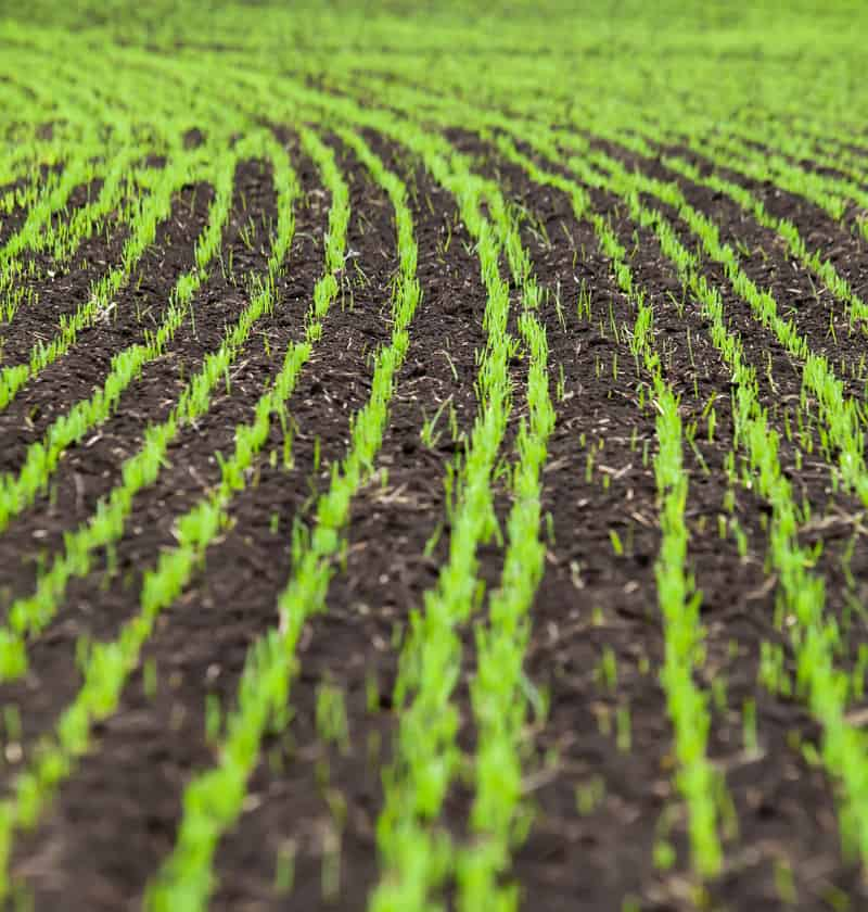 wheat seedlings