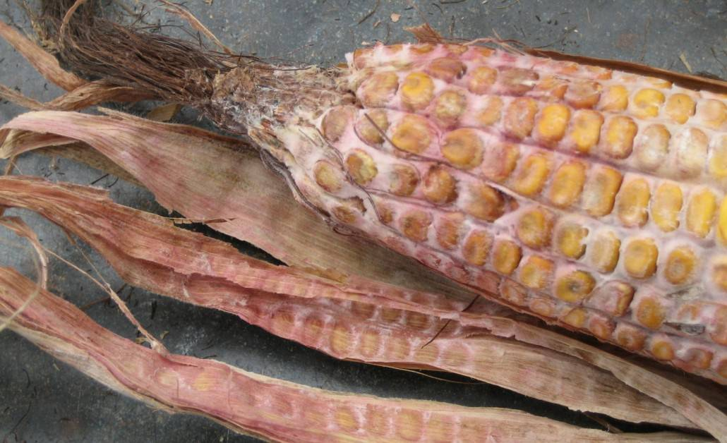 2014 Grain Corn Ear Mould and Vomitoxin Survey - Thompsons