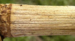 Diplodia Stalk Rot photo