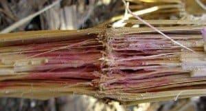 Gibberella Stalk Rot photo