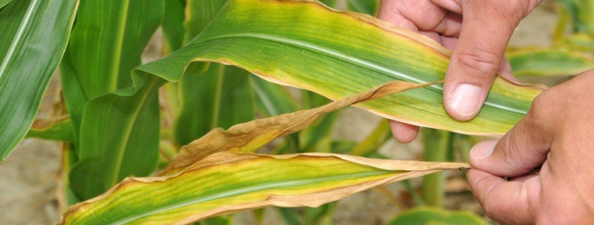 Potassium deficiency in corn source: