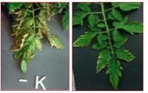 Potassium deficiency in tomatoes photo
