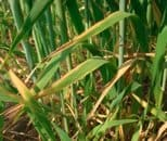 Potassium deficiency in wheat photo