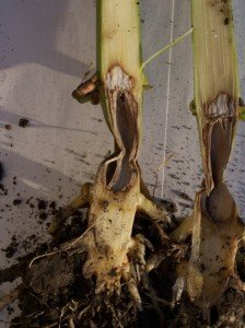 Pythium stalk rot