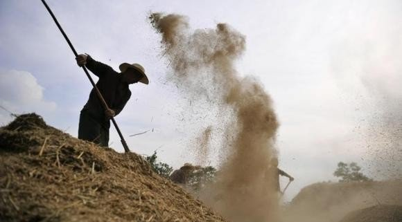 A farmer winnows wheat with a rake at a farm in Liquan county, Shaanxi province June 13, 2012. CREDIT: REUTERS/ROONEY CHEN