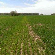 Nitrogen Deficient Strip (Wheat).jpg