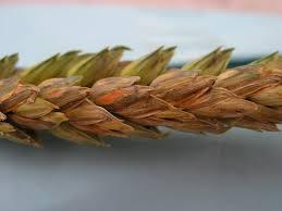 Fusarium spores in wheat