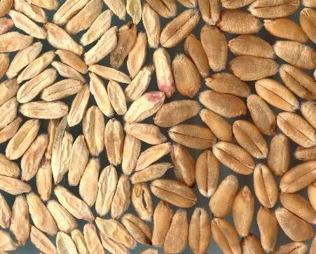 Fusarium Head Blight affected wheat kernels