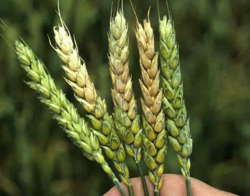 Fusarium Head Blight in wheat photo