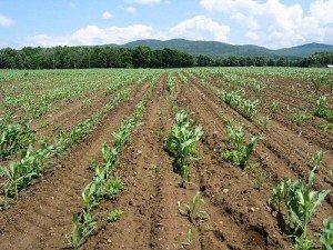 Grub damage in corn
