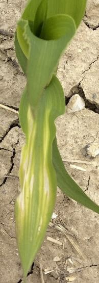 Zinc deficiency in corn