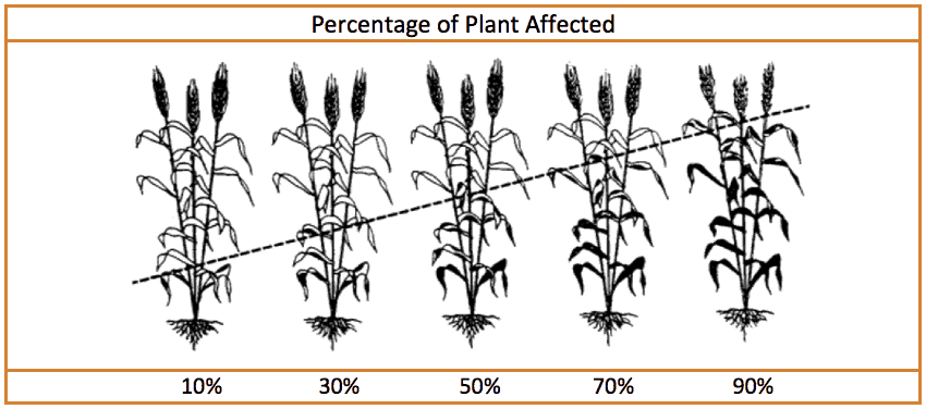Percentage of wheat plant affected photo