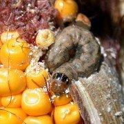 Western Bean Cutworm Larvae
