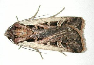 Western Bean Cutworm Adult-Rice