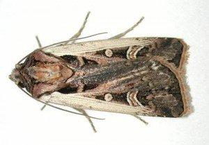 Western Bean Cutworm Adult-Rice