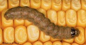 Western Bean Cutworm Larvae-Rice