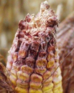 Gibberella Ear Rot