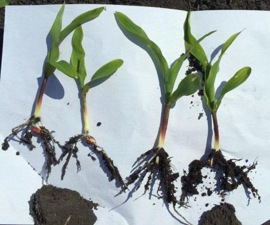 EcoTea liquid seed treatment