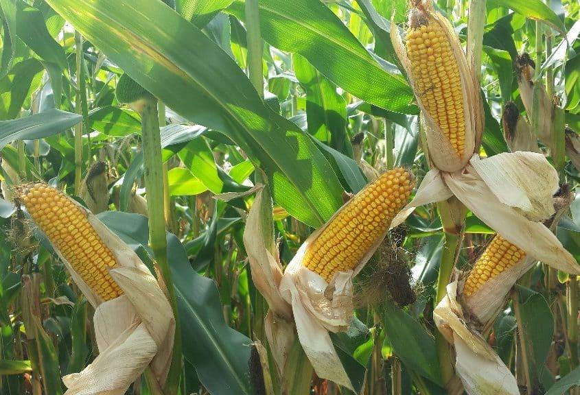 organic corn photo