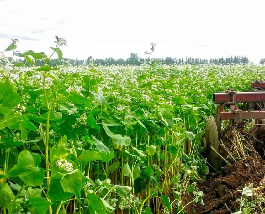 organic buckwheat photo