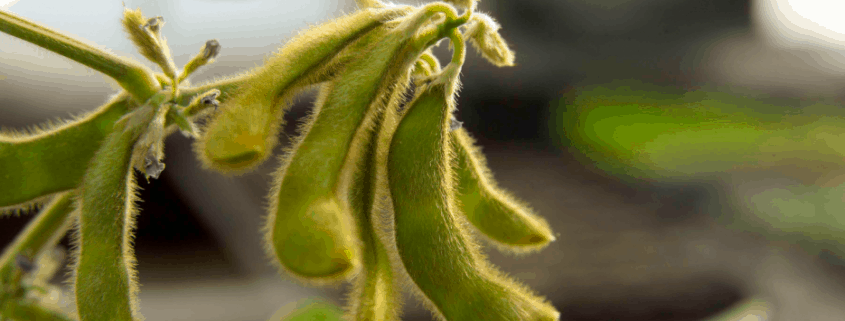 photo of green soybean pods