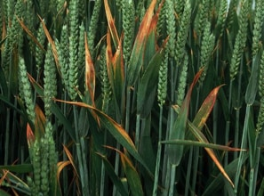 Barley Yellow Dwarf virus (photo)