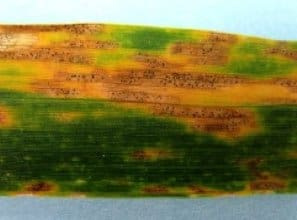 Septoria Leaf Spot in wheat photo