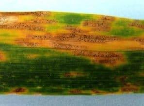 Septoria Leaf Spot in wheat photo