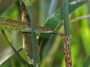 Stem rust in wheat photo