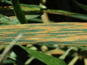 stripe rust in wheat photo