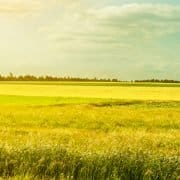 Canola and wheat field photo