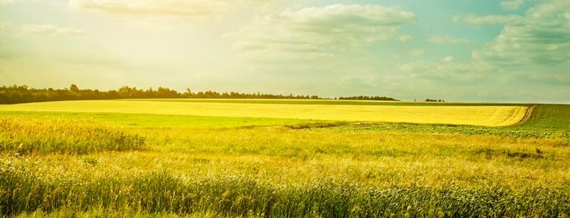 Canola and wheat field photo