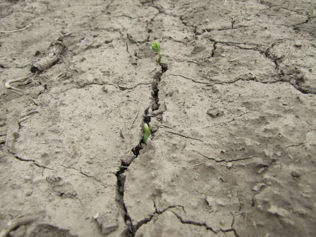 Soybean seedling emergence difficulty because of crust (photo)