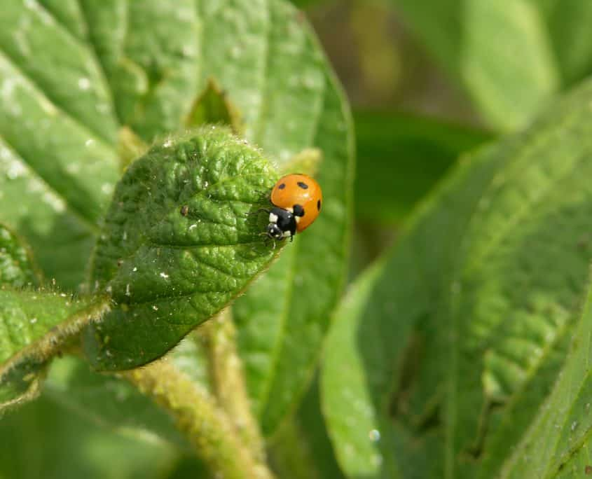 Seven spotted lady beetle feeding on soybean aphids