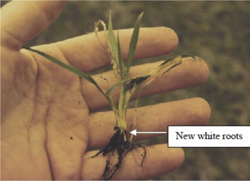 Assessing winter wheat survival