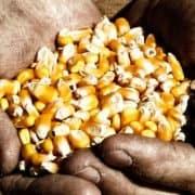 corn held in farmer's hands