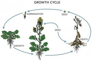 growth cycle of weeds