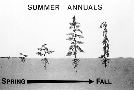 summer annual weeds