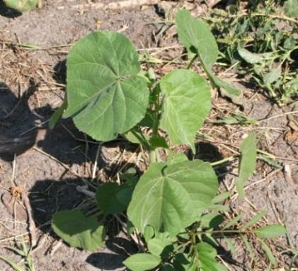 Velvet Leaf