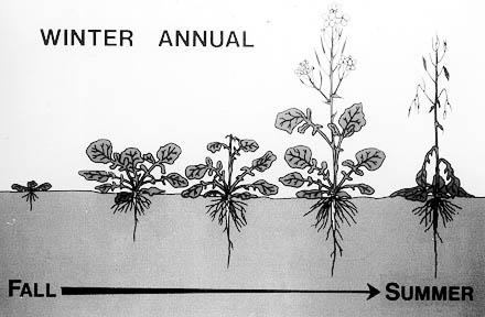 Winter annual weeds