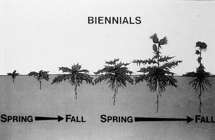 biennial weeds