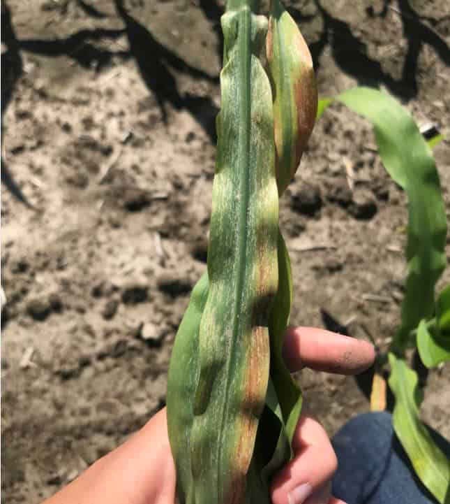 Thrip damage in corn photo