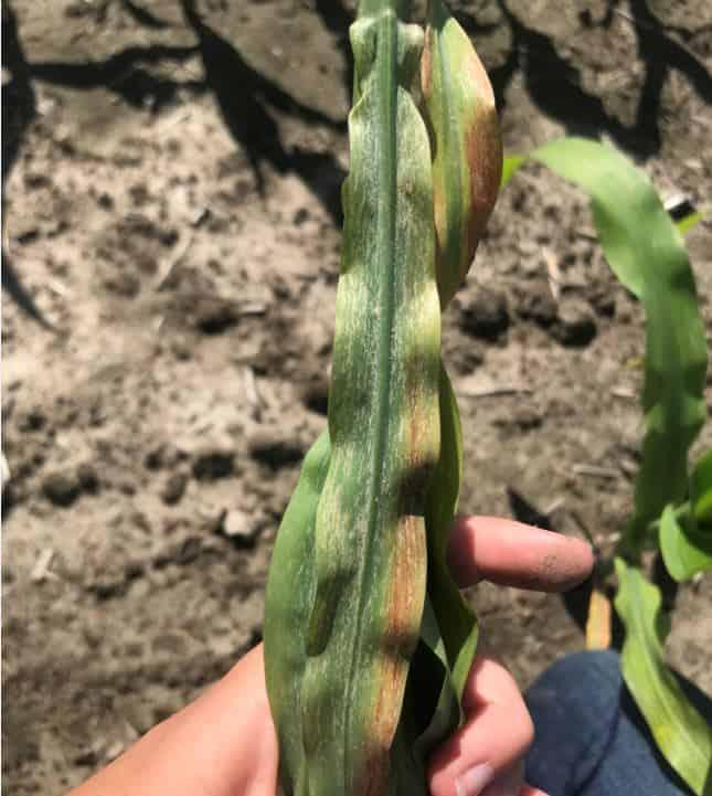 Thrip damage in corn photo