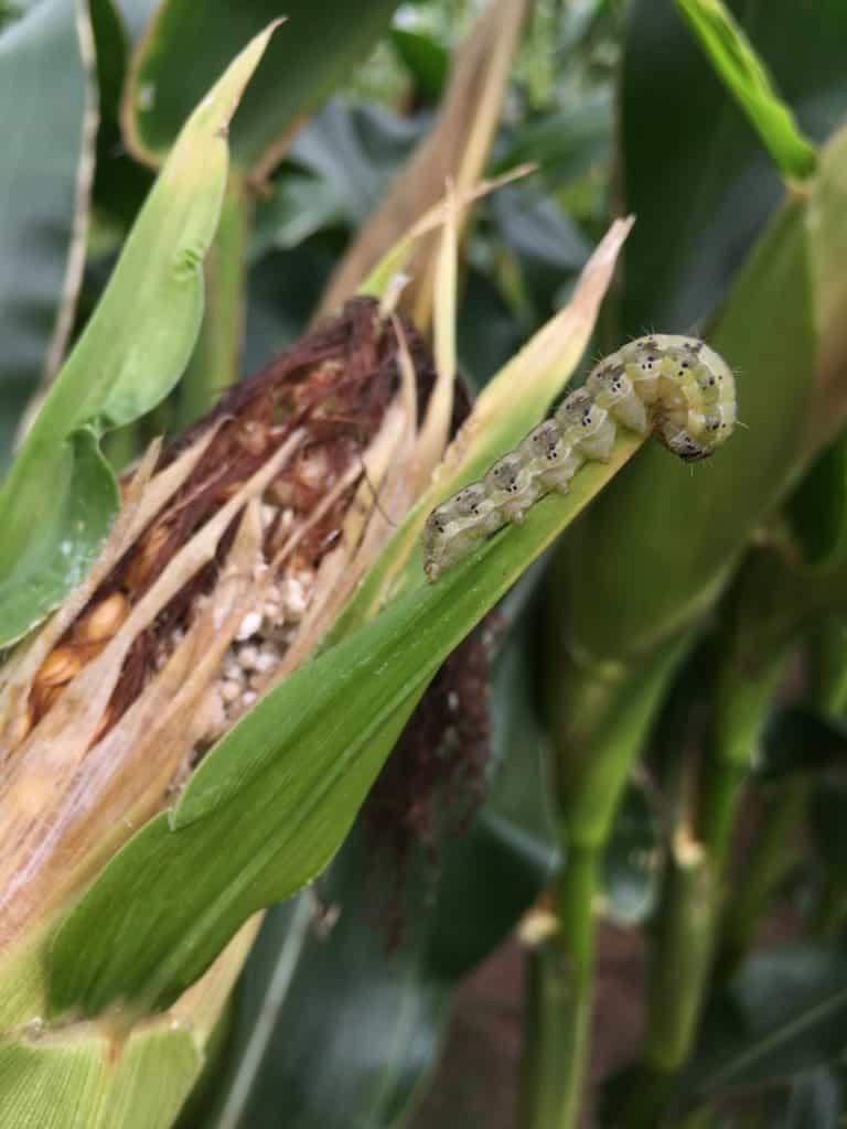 Corn Earworm photo