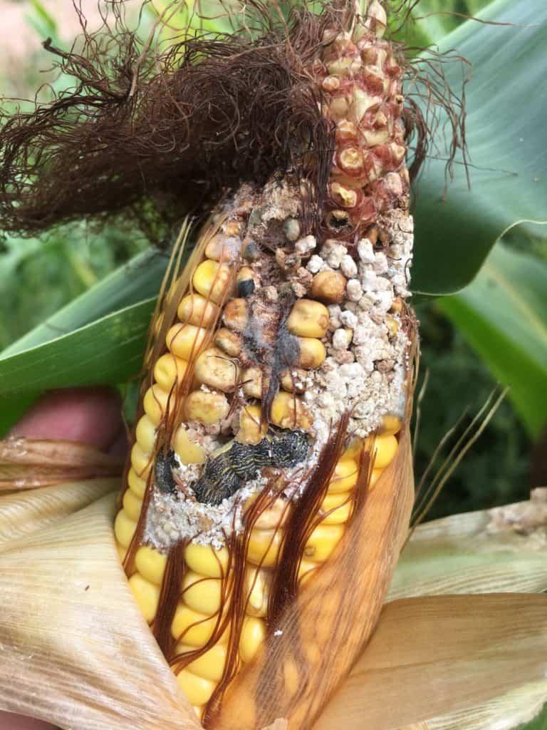 Corn Earworm photo in cob