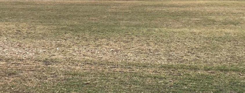 winter wheat bare ground